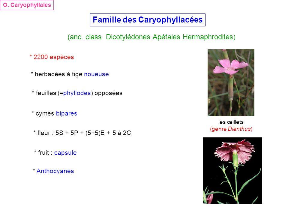 Famille des Caryophyllacées (anc. class. Dicotylédones Apétales Hermaphrodites) O. Caryophyllales * 2200 espèces * herbacées à tige noueuse * feuilles