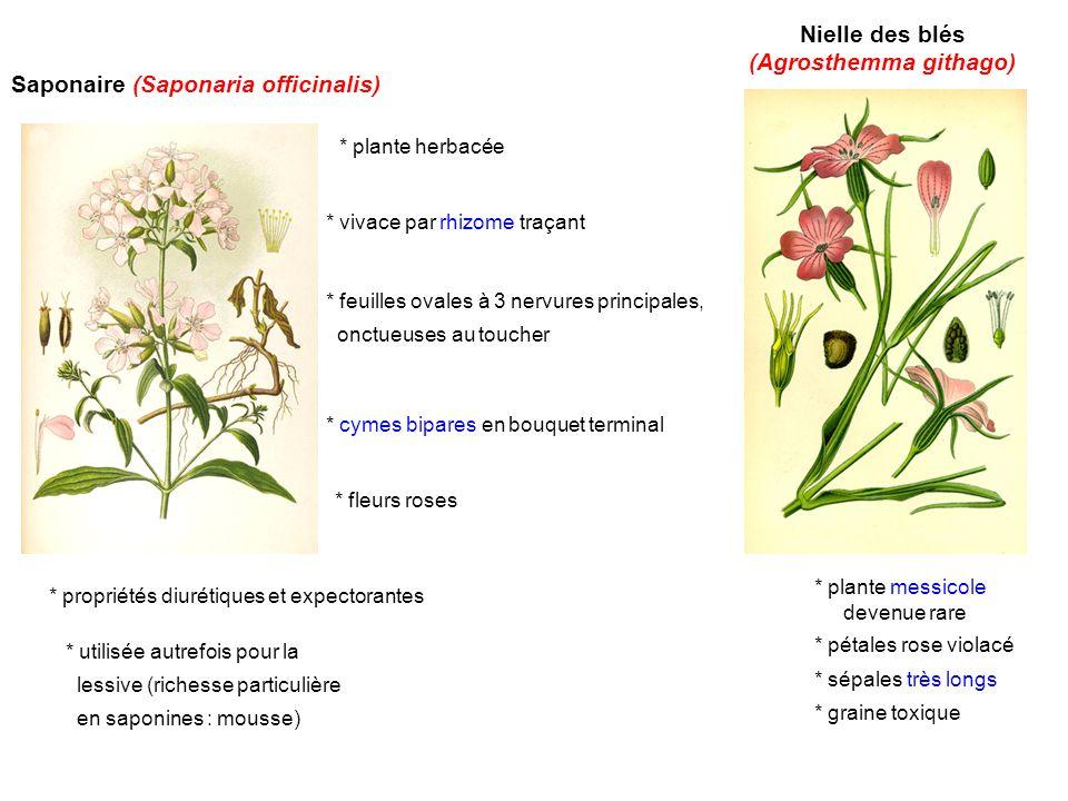 Saponaire (Saponaria officinalis) * vivace par rhizome traçant * feuilles ovales à 3 nervures principales, onctueuses au toucher * cymes bipares en bo
