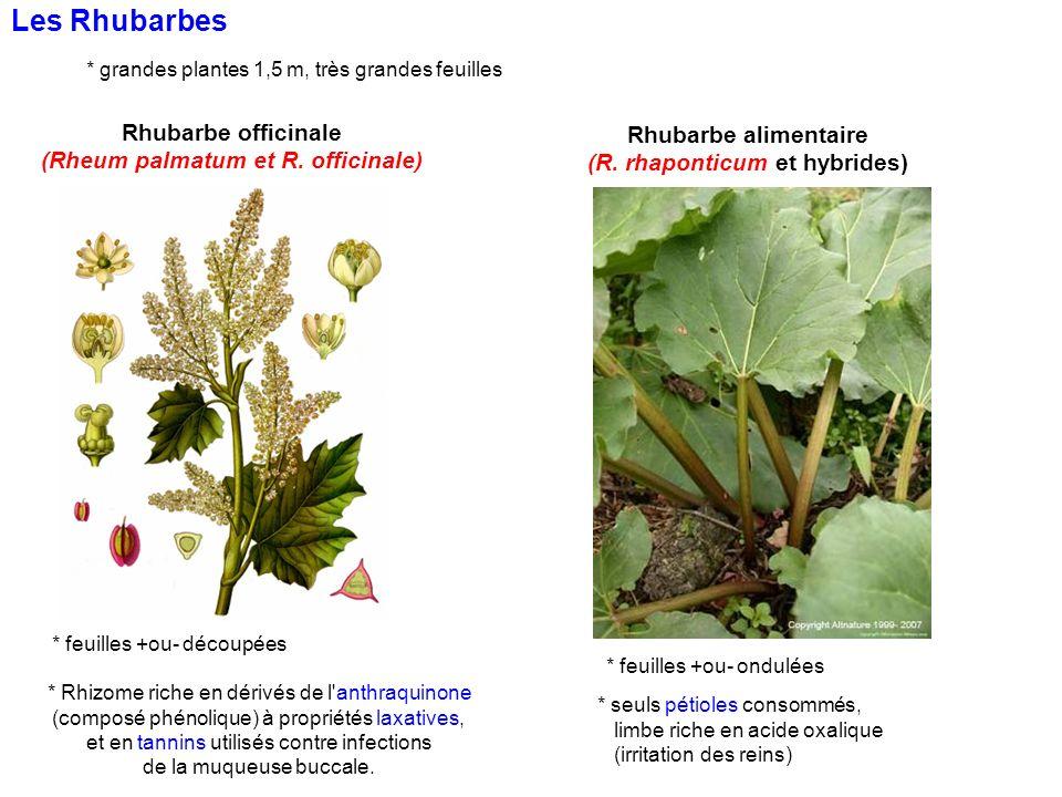 Rhubarbe officinale (Rheum palmatum et R. officinale) * feuilles +ou- découpées Les Rhubarbes * grandes plantes 1,5 m, très grandes feuilles * feuille