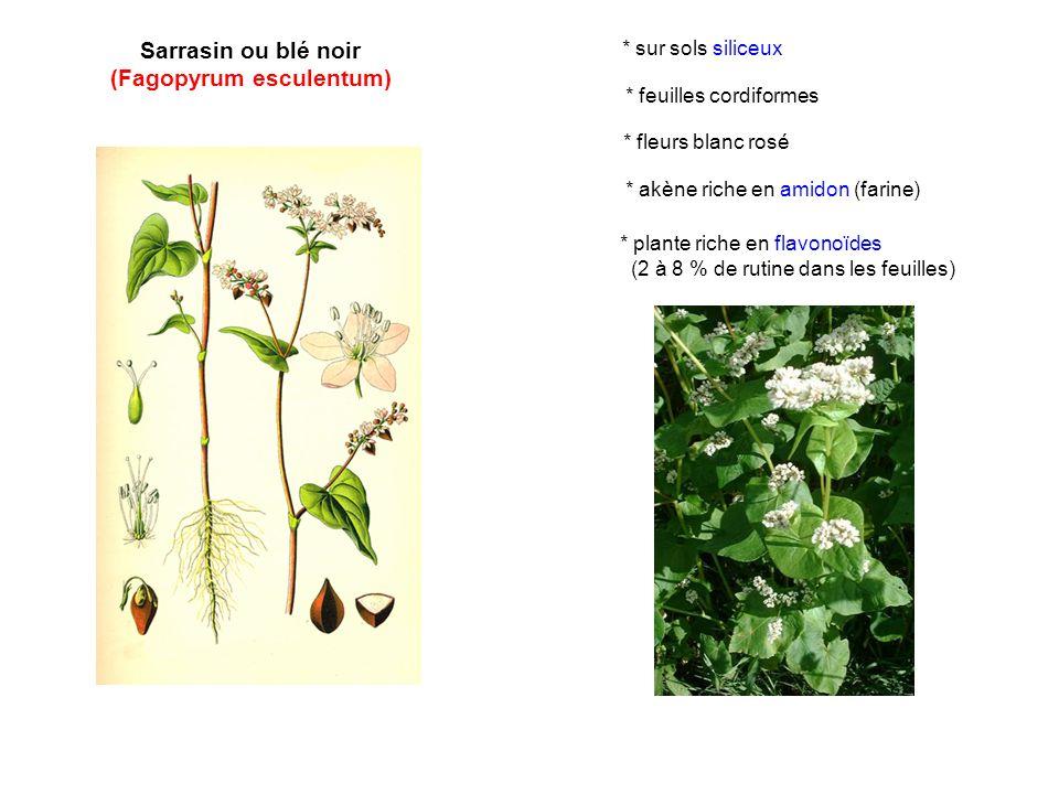 Sarrasin ou blé noir (Fagopyrum esculentum) * fleurs blanc rosé * akène riche en amidon (farine) * plante riche en flavonoïdes (2 à 8 % de rutine dans les feuilles) * sur sols siliceux * feuilles cordiformes