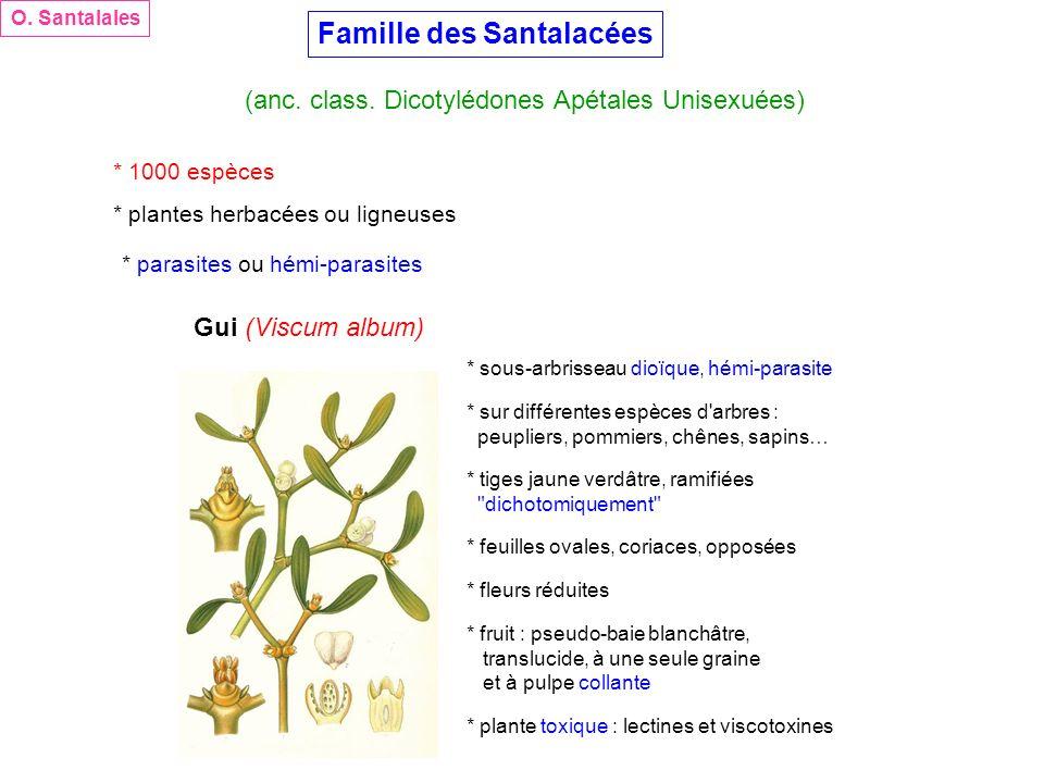 Famille des Santalacées (anc. class. Dicotylédones Apétales Unisexuées) O. Santalales * 1000 espèces * plantes herbacées ou ligneuses * parasites ou h