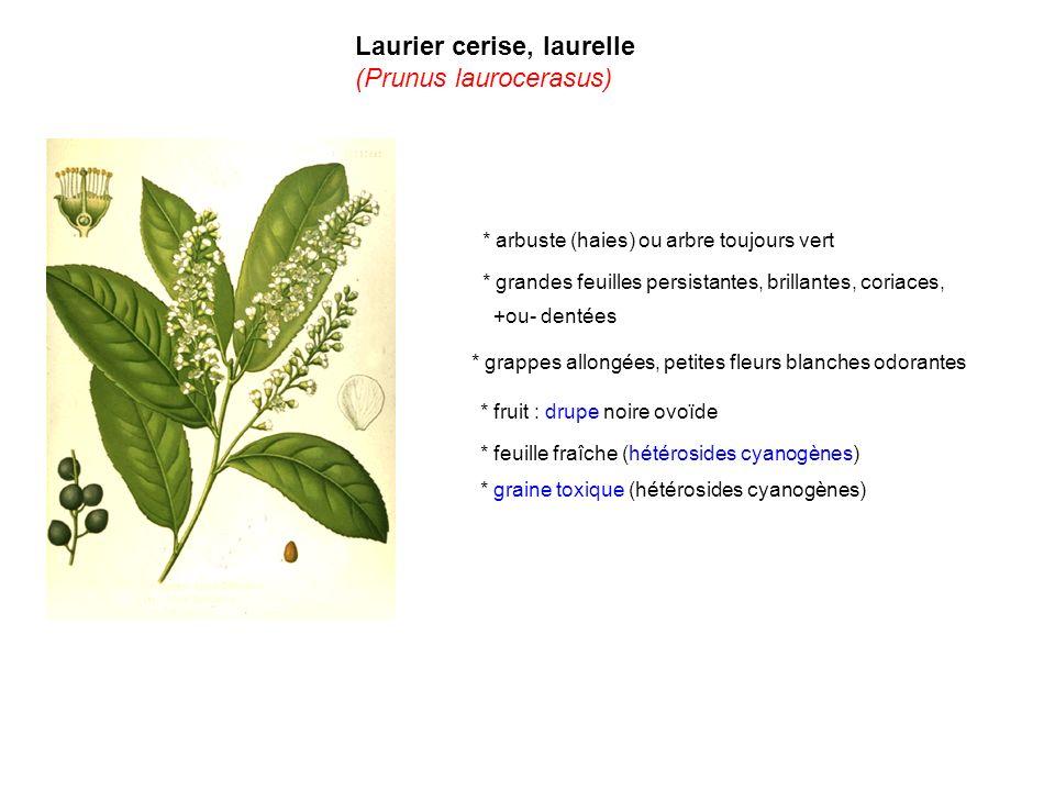 * feuille fraîche (hétérosides cyanogènes) * arbuste (haies) ou arbre toujours vert * grandes feuilles persistantes, brillantes, coriaces, +ou- dentée
