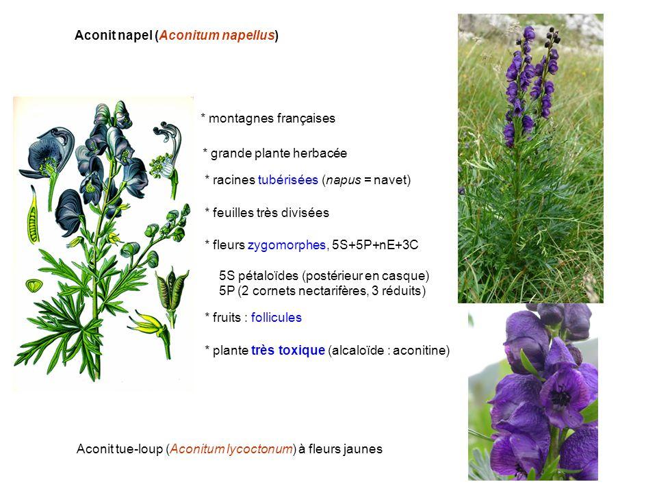 Aconit napel (Aconitum napellus) * montagnes françaises * racines tubérisées (napus = navet) * feuilles très divisées * fleurs zygomorphes, 5S+5P+nE+3
