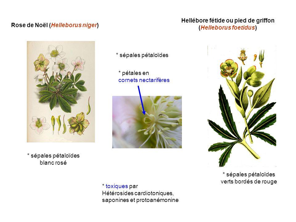 Rose de Noël (Helleborus niger) Hellébore fétide ou pied de griffon (Helleborus foetidus) * sépales pétaloïdes * pétales en cornets nectarifères * tox
