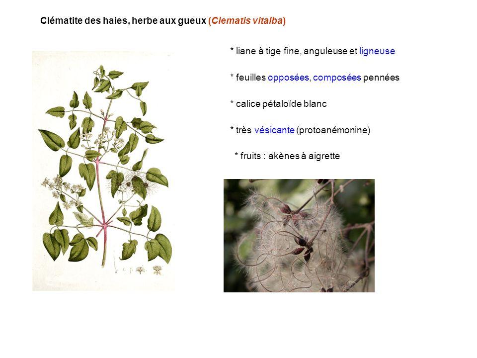 Clématite des haies, herbe aux gueux (Clematis vitalba) * liane à tige fine, anguleuse et ligneuse * feuilles opposées, composées pennées * très vésic