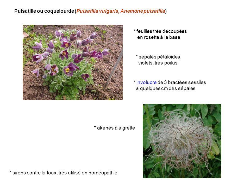 Pulsatille ou coquelourde (Pulsatilla vulgaris, Anemone pulsatilla) * feuilles très découpées en rosette à la base * sépales pétaloïdes, violets, très