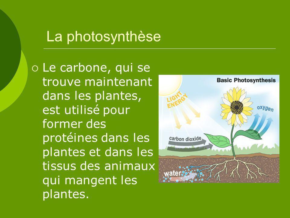La photosynthèse Le carbone, qui se trouve maintenant dans les plantes, est utilisé pour former des protéines dans les plantes et dans les tissus des animaux qui mangent les plantes.