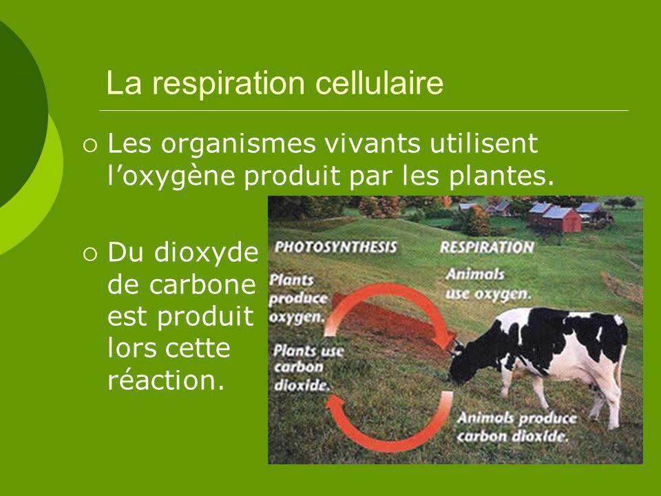 La respiration cellulaire Les organismes vivants utilisent loxygène produit par les plantes.