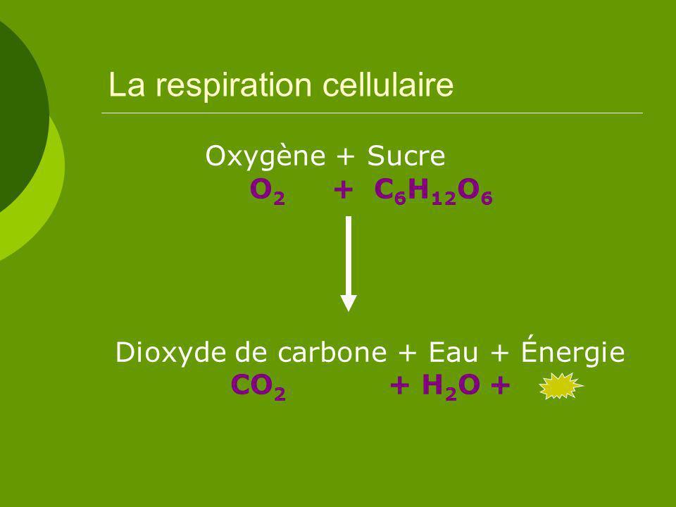 La respiration cellulaire Oxygène + Sucre O 2 + C 6 H 12 O 6 Dioxyde de carbone + Eau + Énergie CO 2 + H 2 O +