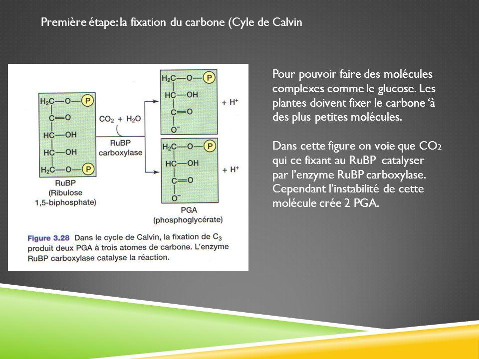Première étape: la fixation du carbone (Cyle de Calvin Pour pouvoir faire des molécules complexes comme le glucose. Les plantes doivent fixer le carbo
