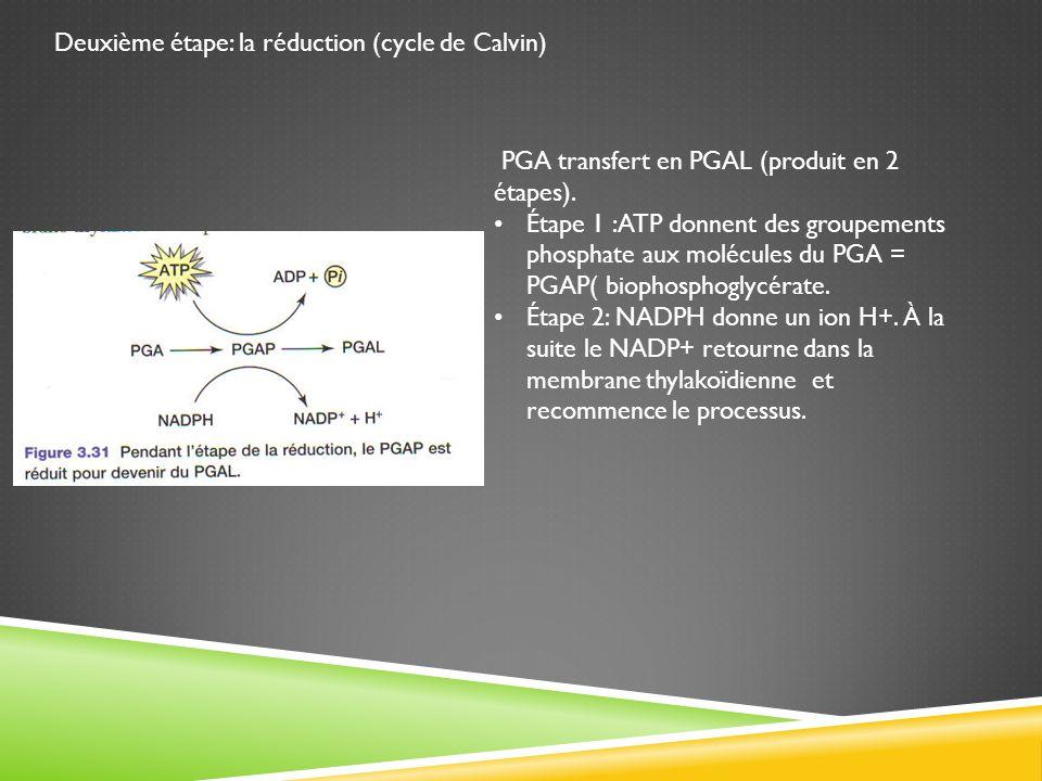 Deuxième étape: la réduction (cycle de Calvin) PGA transfert en PGAL (produit en 2 étapes). Étape 1 :ATP donnent des groupements phosphate aux molécul