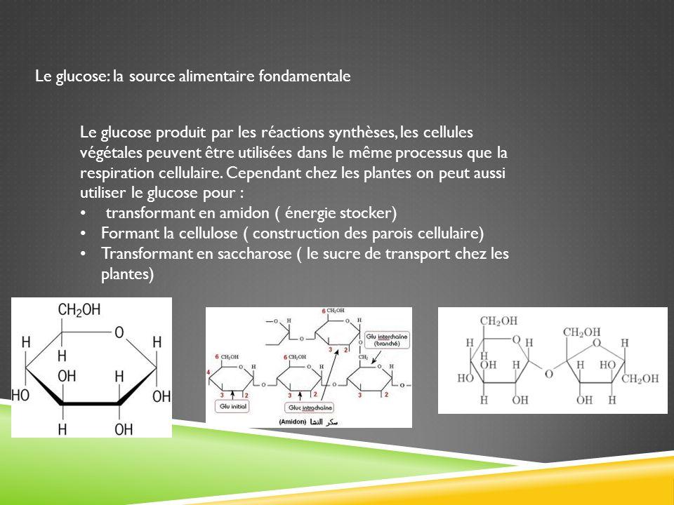 Le glucose: la source alimentaire fondamentale Le glucose produit par les réactions synthèses, les cellules végétales peuvent être utilisées dans le m