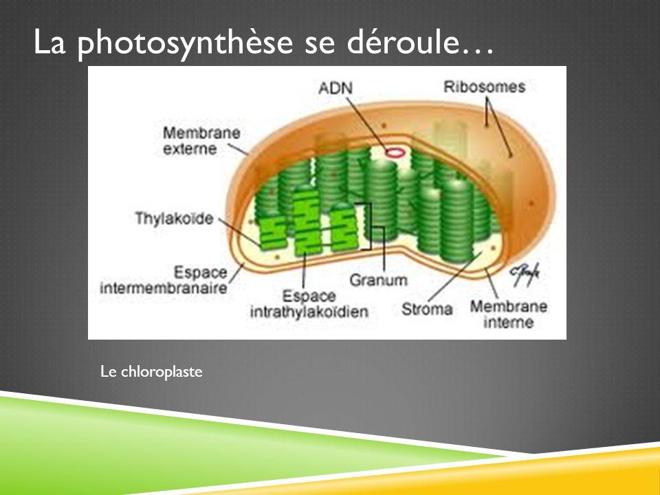 La photosynthèse se déroule… Le chloroplaste
