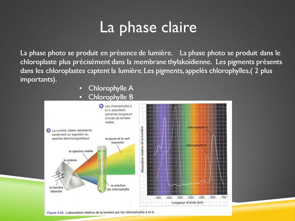 La phase photo se produit en présence de lumière. La phase photo se produit dans le chloroplaste plus précisément dans la membrane thylakoïdienne. Les