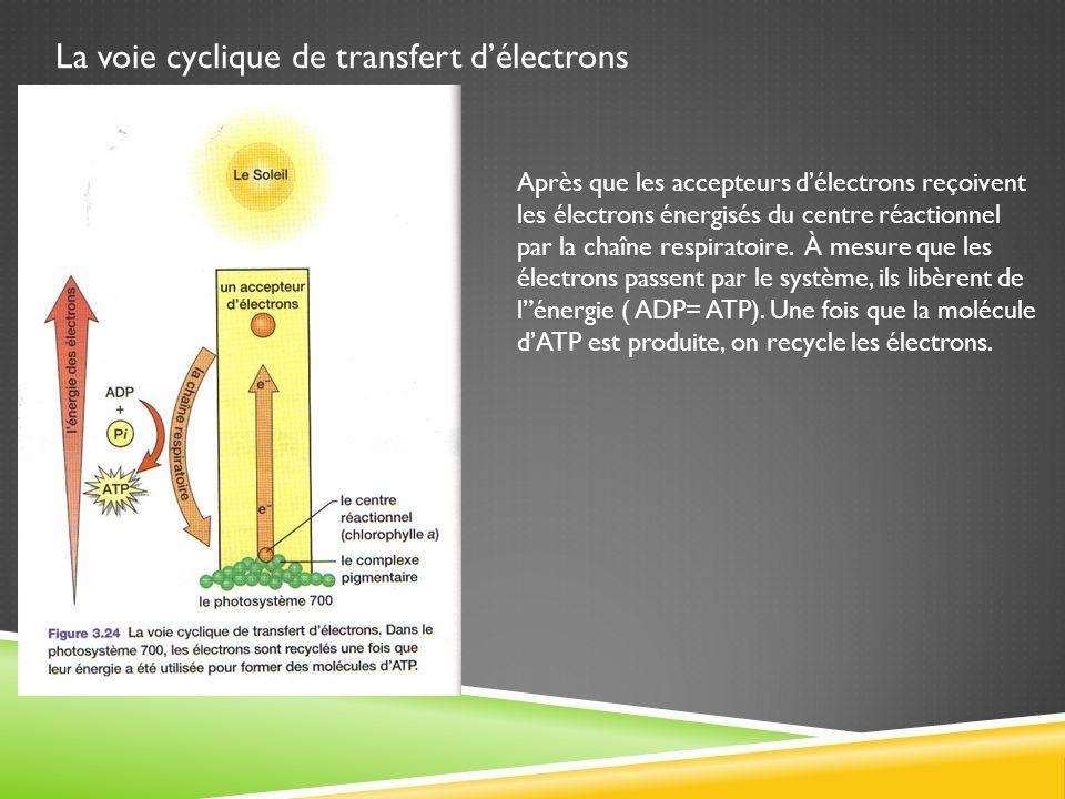 La voie cyclique de transfert délectrons Après que les accepteurs délectrons reçoivent les électrons énergisés du centre réactionnel par la chaîne res
