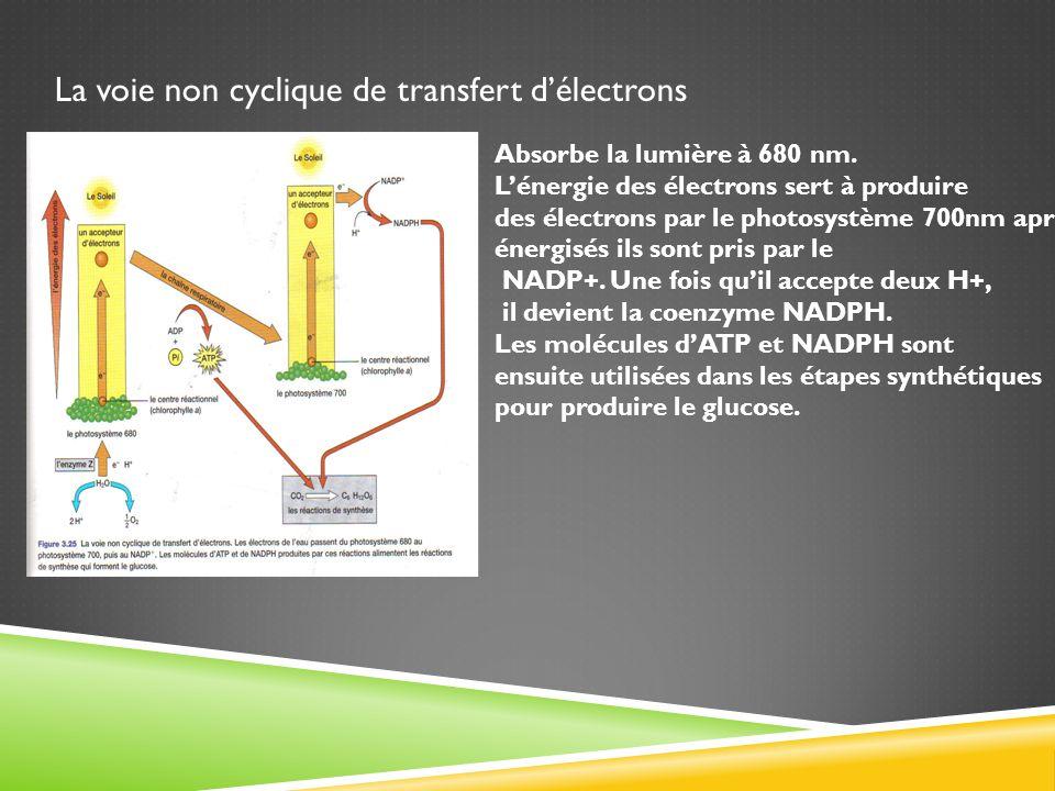 La voie non cyclique de transfert délectrons Absorbe la lumière à 680 nm. Lénergie des électrons sert à produire des électrons par le photosystème 700