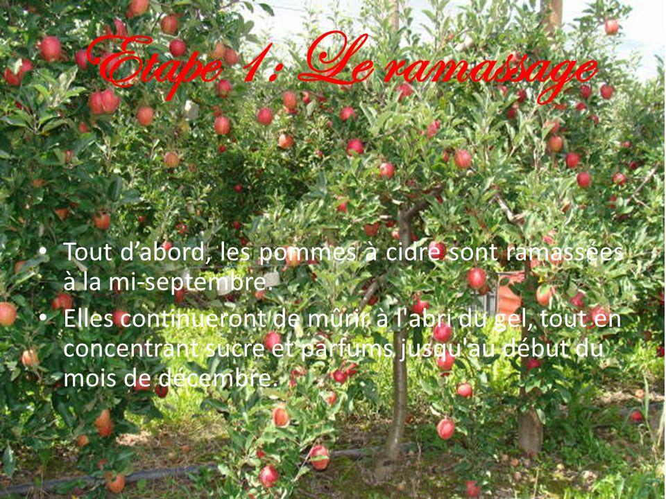 Etape 1: Le ramassage Tout dabord, les pommes à cidre sont ramassées à la mi-septembre. Elles continueront de mûrir à l'abri du gel, tout en concentra