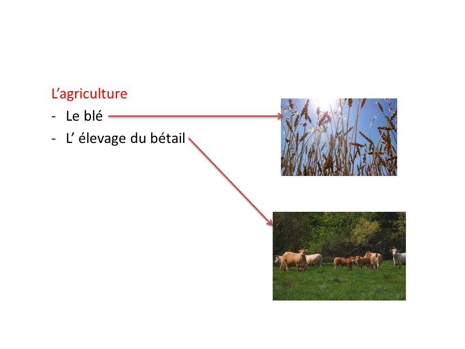 Lagriculture -Le blé -L élevage du bétail
