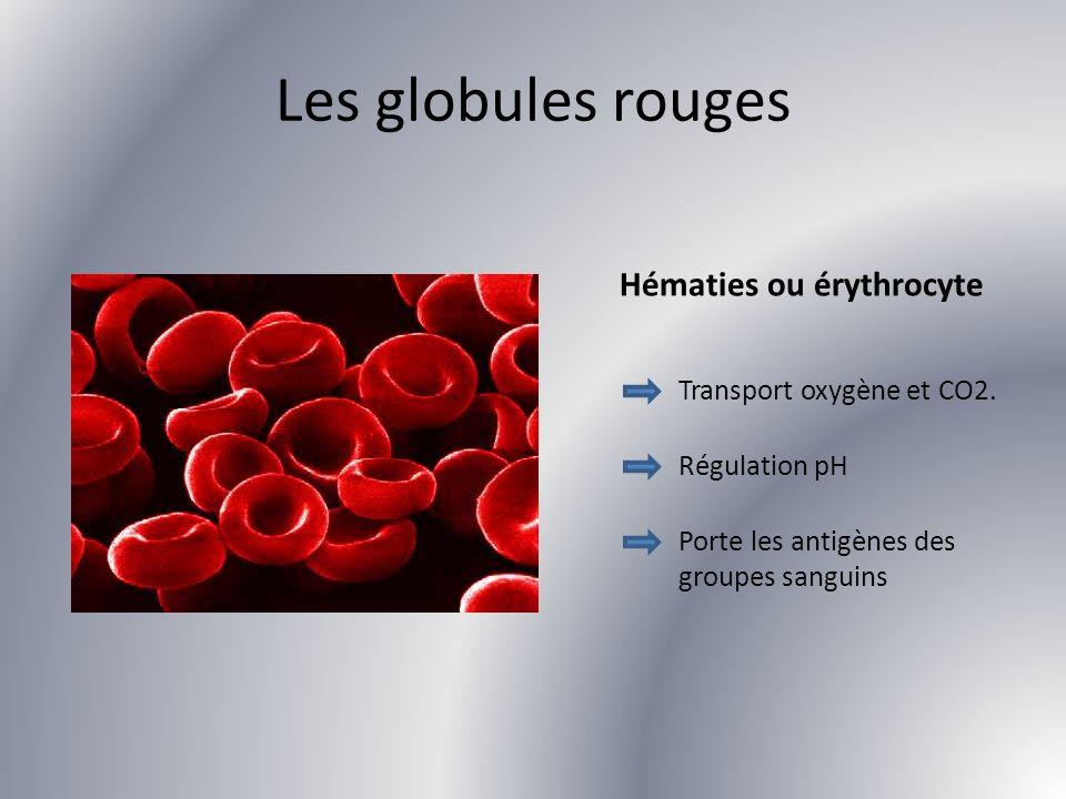 Les globules rouges Hématies ou érythrocyte Transport oxygène et CO2. Régulation pH Porte les antigènes des groupes sanguins