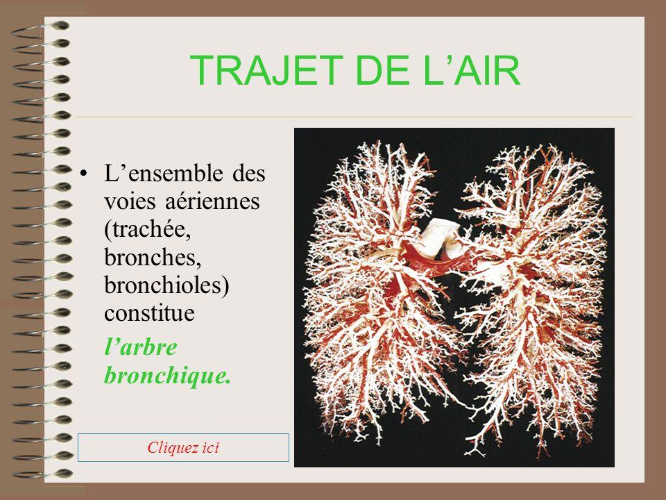 TRAJET DE LAIR A lextrémité des bronchioles on observe de petits sacs regroupés en grappes: les alvéoles pulmonaires.