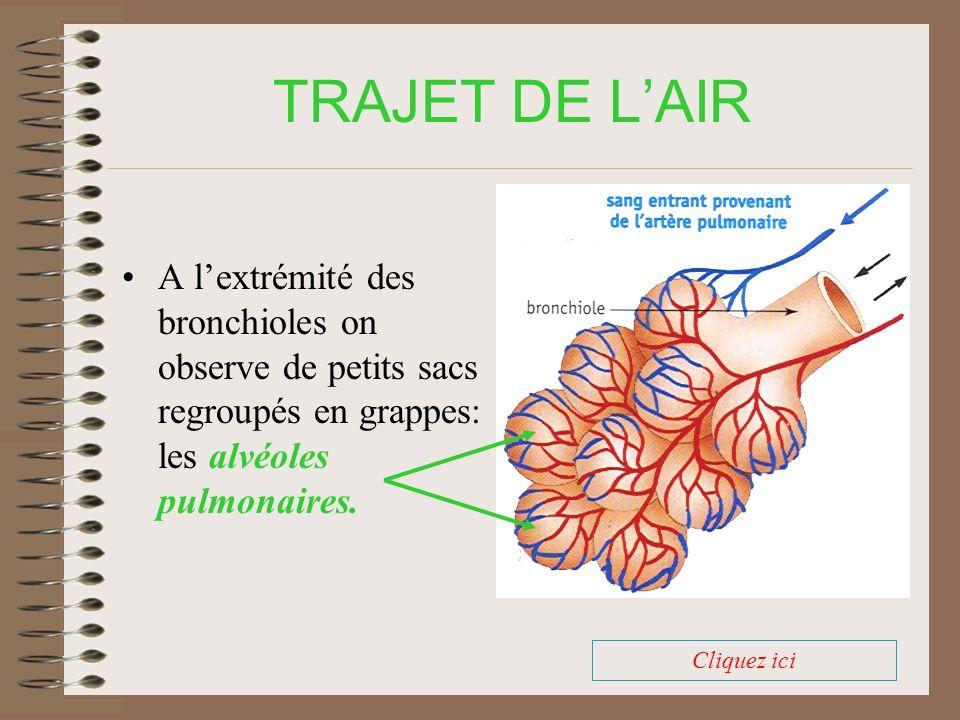 TRAJET DE LAIR Autour de chaque alvéole se trouve un réseau dense de capillaires sanguins.