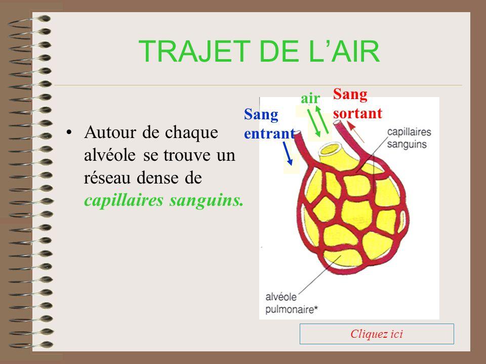 TRAJET DE LAIR On peut observer une coupe de tissu pulmonaire au microscope électronique Cliquez ici