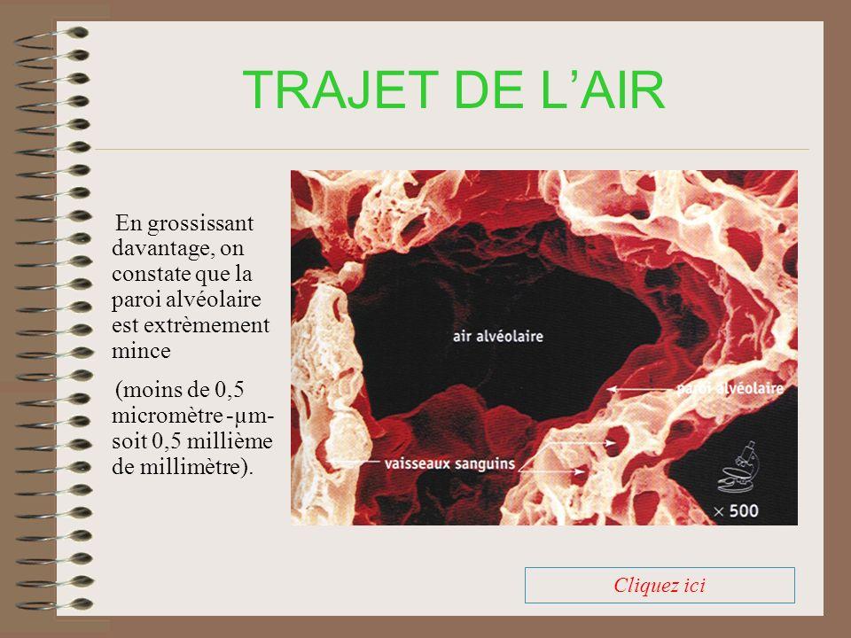 TRAJET DE LAIR En grossissant davantage, on constate que la paroi alvéolaire est extrèmement mince (moins de 0,5 micromètre -µm- soit 0,5 millième de millimètre).