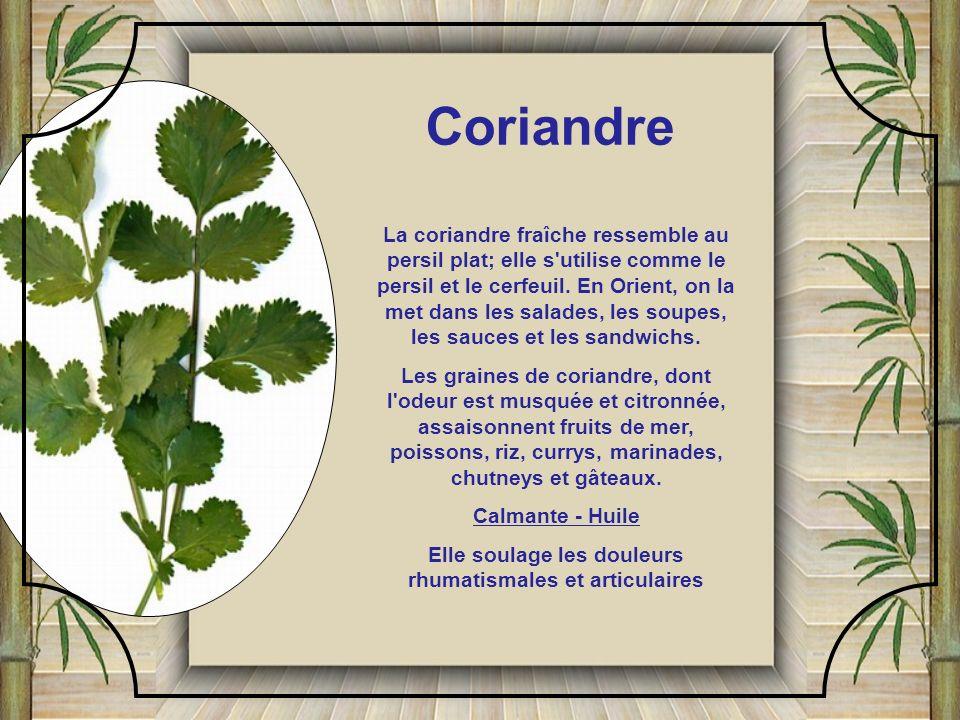 C'est une plante vivace tropicale poussant en climat ensoleillé humide. Elle présente des feuilles longues et minces, à bord coupant, raides, vert-cla