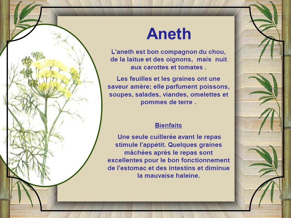 L aneth est bon compagnon du chou, de la laitue et des oignons, mais nuit aux carottes et tomates.