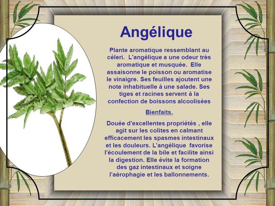 Plante aromatique ressemblant au céleri.L angélique a une odeur très aromatique et musquée.