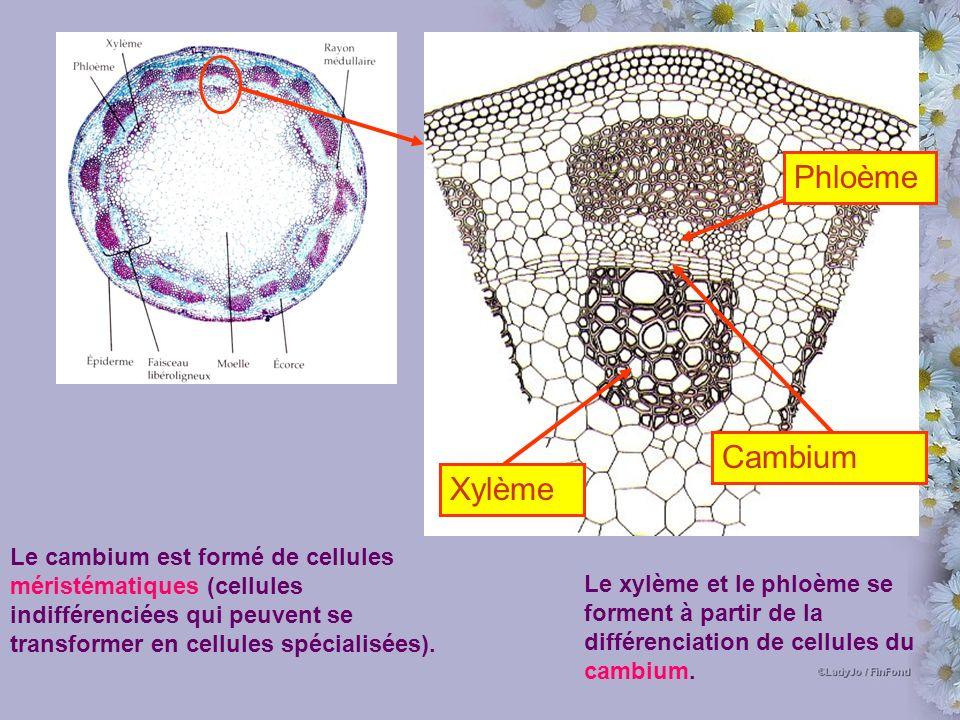Phloème Xylème Cambium Le cambium est formé de cellules méristématiques (cellules indifférenciées qui peuvent se transformer en cellules spécialisées).