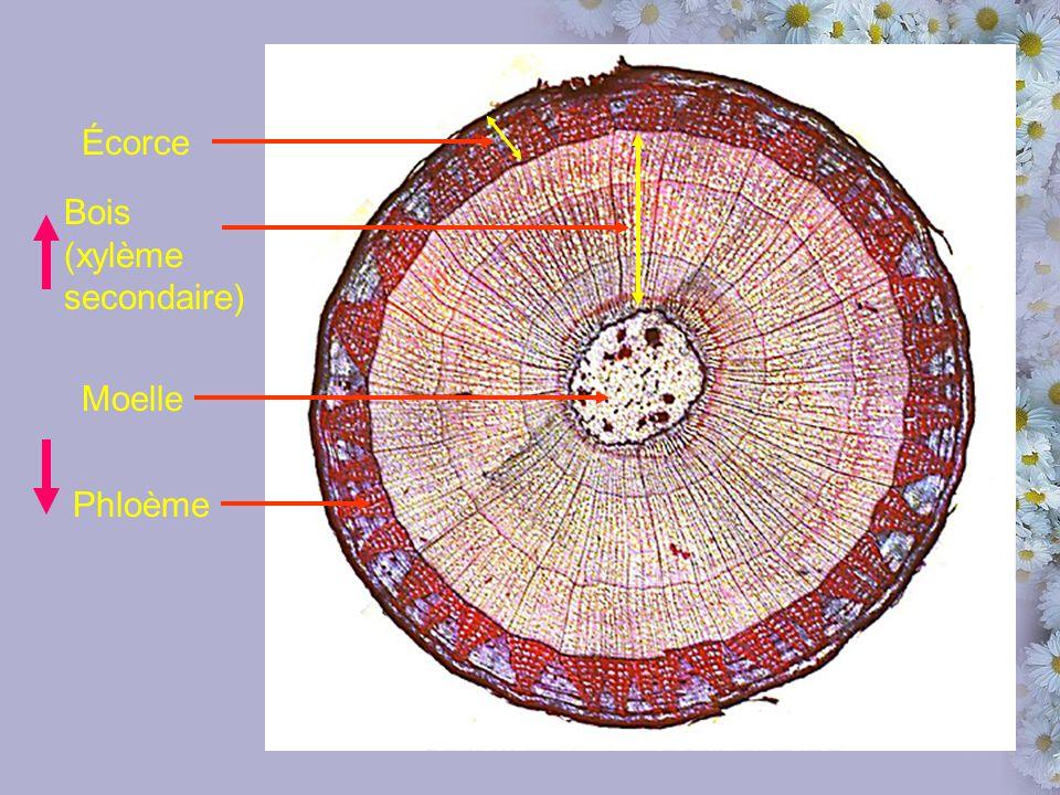 Écorce Bois (xylème secondaire) Moelle Phloème