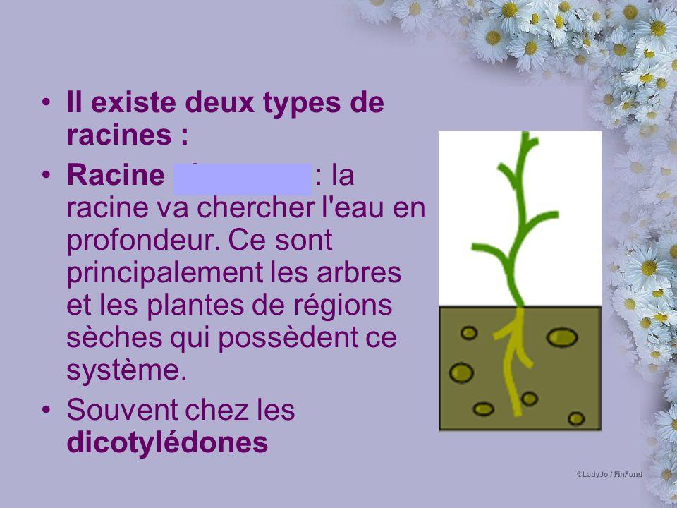 Il existe deux types de racines : Racine pivotante : la racine va chercher l eau en profondeur.
