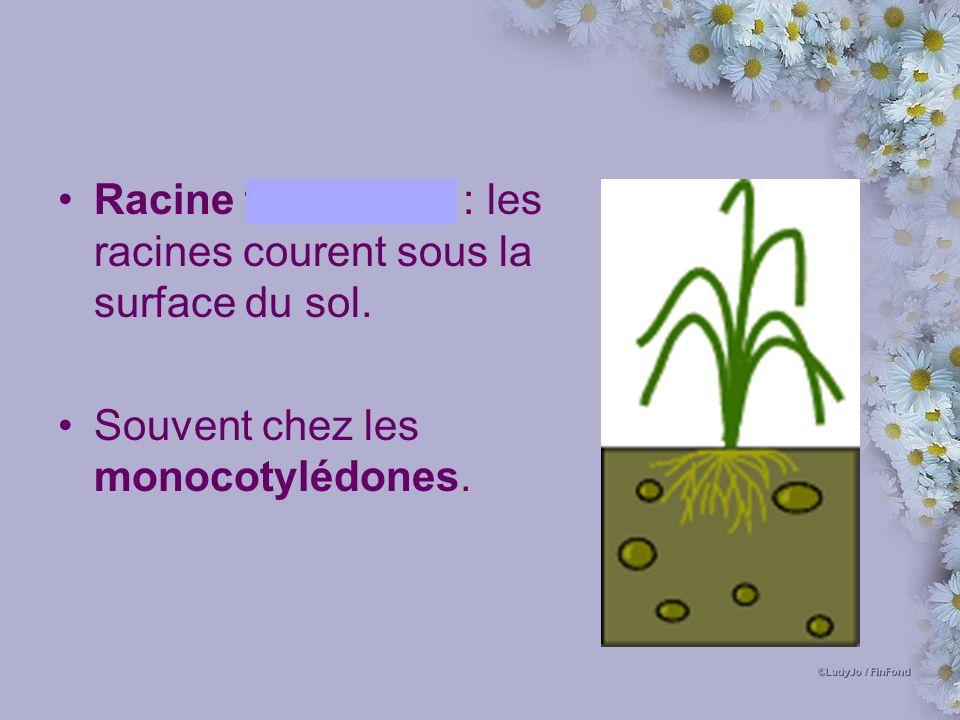 Racine fasciculée : les racines courent sous la surface du sol. Souvent chez les monocotylédones.