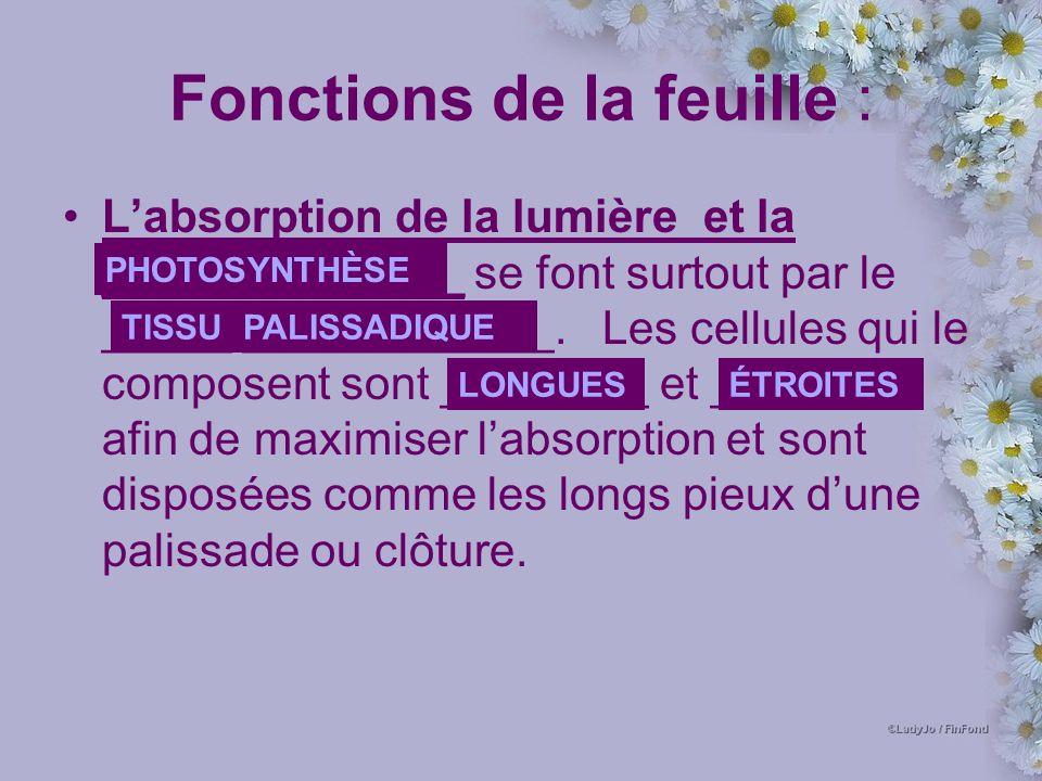 Fonctions de la feuille : Labsorption de la lumière et la ______________ se font surtout par le _____ ____________.