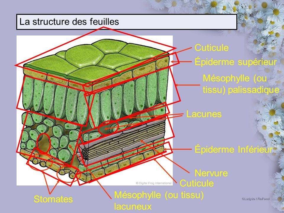 La structure des feuilles Cuticule Épiderme supérieur Épiderme Inférieur Nervure Stomates Mésophylle (ou tissu) palissadique Mésophylle (ou tissu) lacuneux Cuticule Lacunes