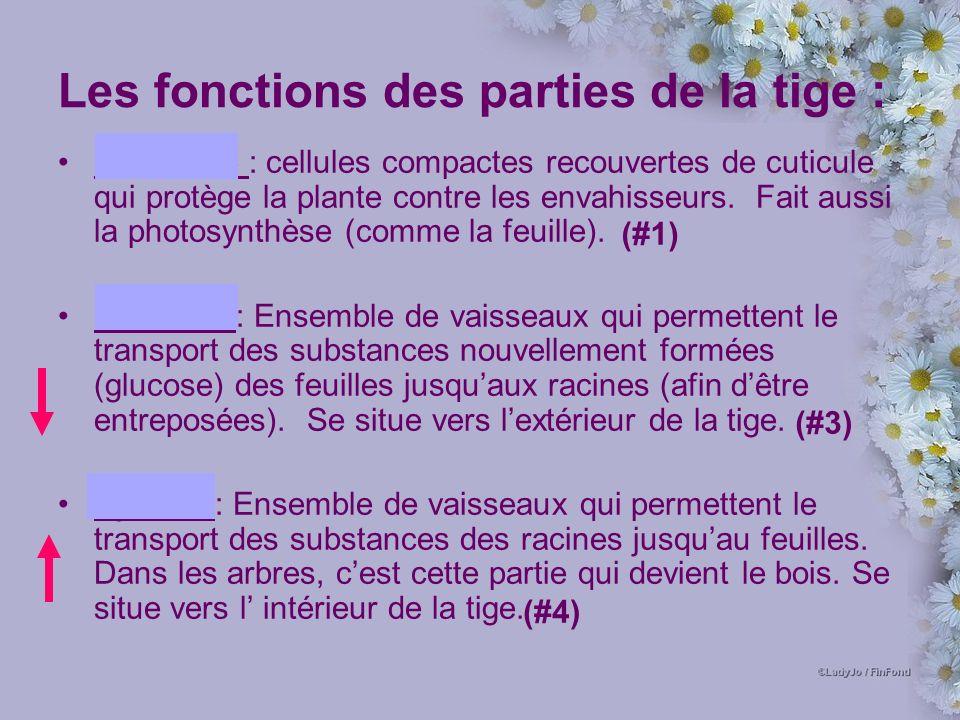 Les fonctions des parties de la tige : Épiderme : cellules compactes recouvertes de cuticule qui protège la plante contre les envahisseurs.