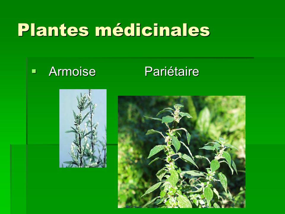 Plantes médicinales Armoise Pariétaire Armoise Pariétaire