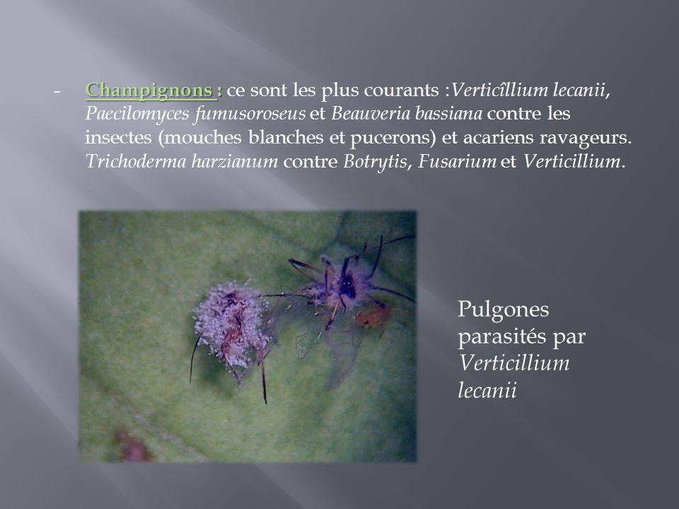 Champignons : - Champignons : ce sont les plus courants : Verticîllium lecanii, Paecilomyces fumusoroseus et Beauveria bassiana contre les insectes (m