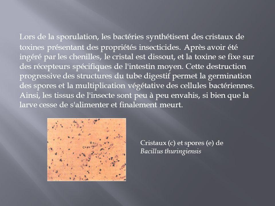 Lors de la sporulation, les bactéries synthétisent des cristaux de toxines présentant des propriétés insecticides. Après avoir été ingéré par les chen