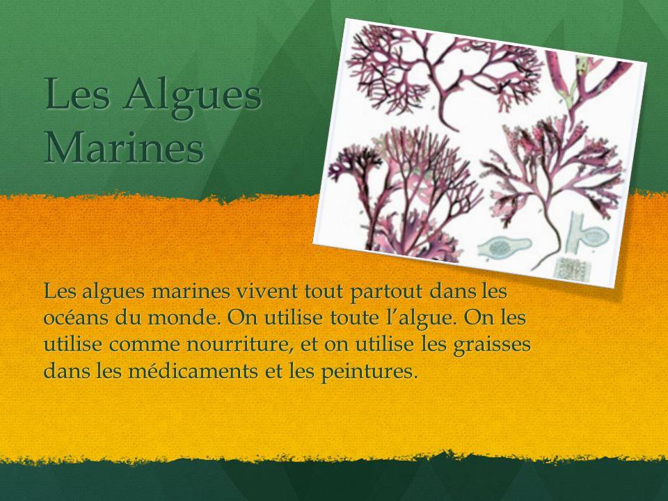 Les Algues Marines Les algues marines vivent tout partout dans les océans du monde. On utilise toute lalgue. On les utilise comme nourriture, et on ut