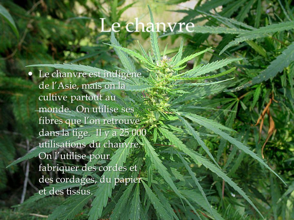 Le chanvre Le chanvre est indigène de lAsie, mais on la cultive partout au monde. On utilise ses fibres que lon retrouve dans la tige. Il y a 25 000 u
