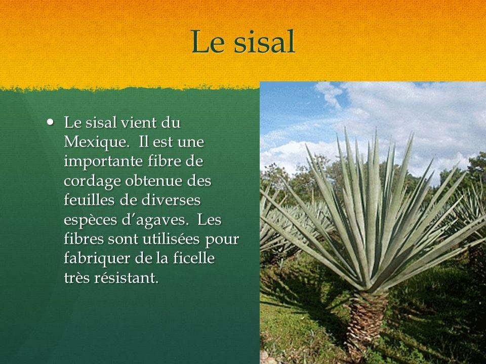 Le sisal Le sisal vient du Mexique. Il est une importante fibre de cordage obtenue des feuilles de diverses espèces dagaves. Les fibres sont utilisées