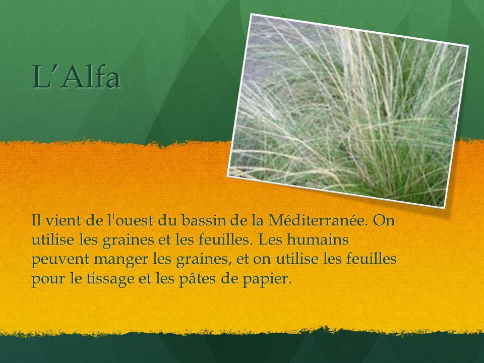 LAlfa Il vient de l'ouest du bassin de la Méditerranée. On utilise les graines et les feuilles. Les humains peuvent manger les graines, et on utilise