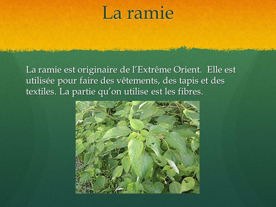 La ramie La ramie est originaire de lExtrême Orient. Elle est utilisée pour faire des vêtements, des tapis et des textiles. La partie quon utilise est