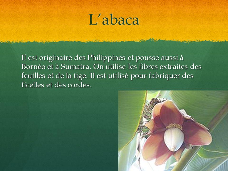 Labaca Il est originaire des Philippines et pousse aussi à Bornéo et à Sumatra. On utilise les fibres extraites des feuilles et de la tige. Il est uti