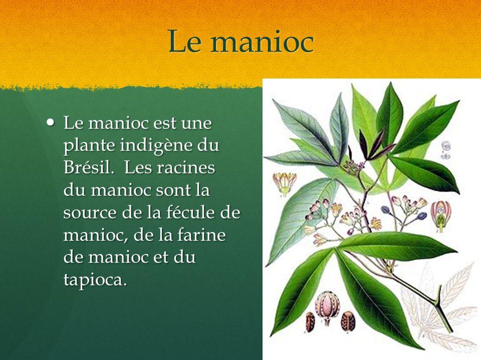 Le manioc Le manioc est une plante indigène du Brésil. Les racines du manioc sont la source de la fécule de manioc, de la farine de manioc et du tapio
