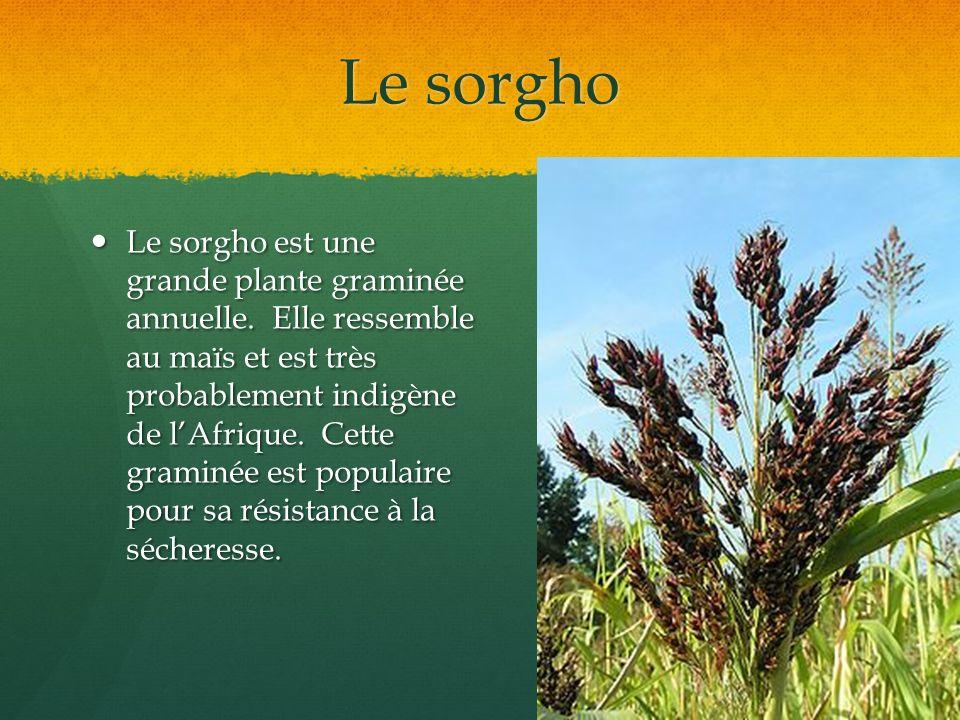 Le sorgho Le sorgho est une grande plante graminée annuelle. Elle ressemble au maïs et est très probablement indigène de lAfrique. Cette graminée est