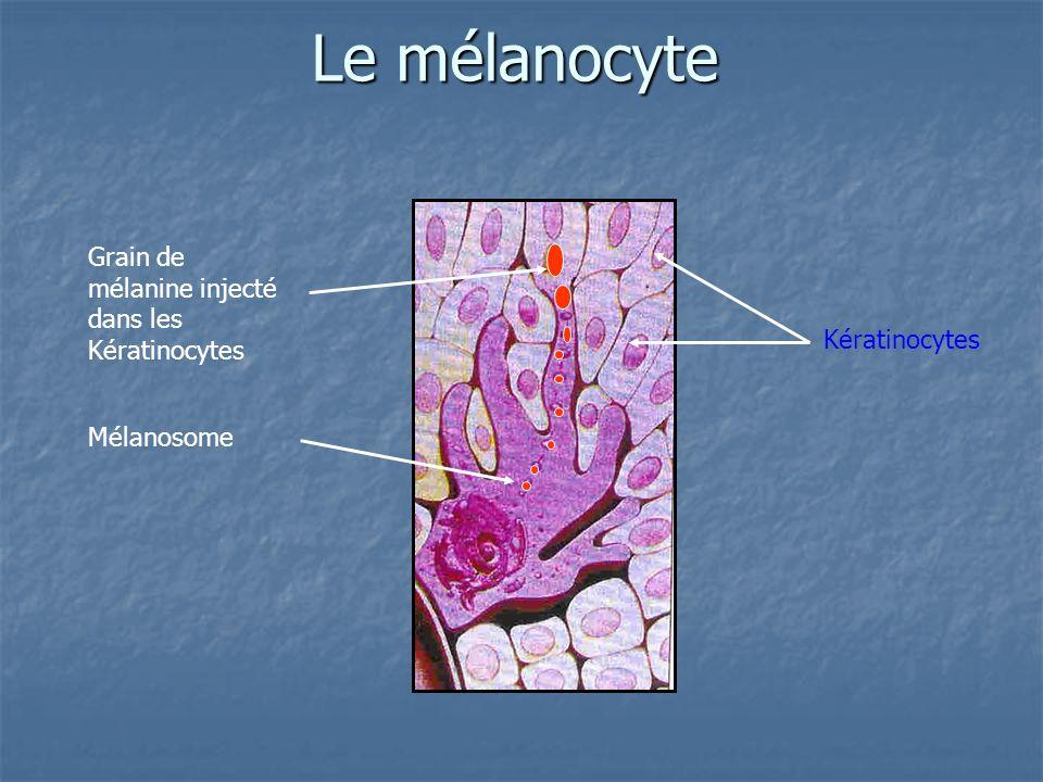 Le mélanocyte Mélanosome Grain de mélanine injecté dans les Kératinocytes Kératinocytes