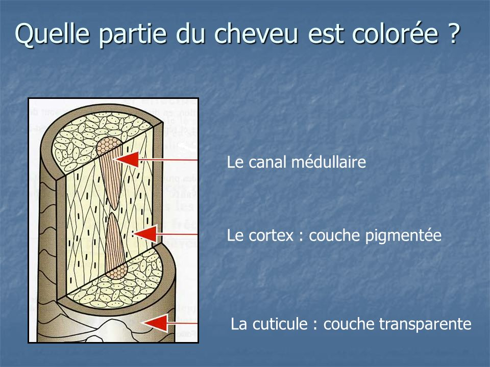 Quelle partie du cheveu est colorée ? La cuticule : couche transparente Le cortex : couche pigmentée Le canal médullaire